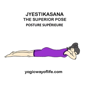 Jyestikasana - la posture supérieure - the superior pose